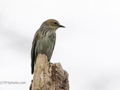 On A Cypress Knee, Yellow-rumped Warbler