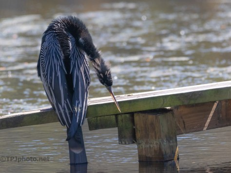 Anhinga, Saw Something