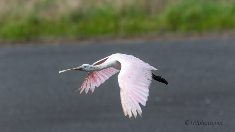 Pink Fly By, Spoonbill