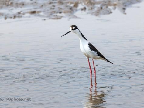 Black-necked Stilt Standing Tall