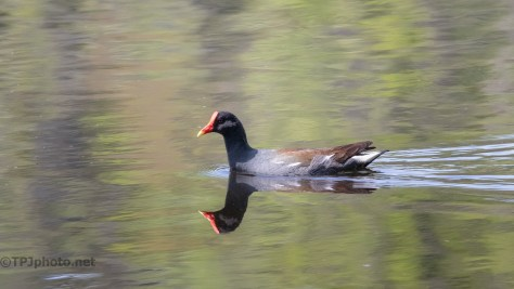 Gallinule Reflections