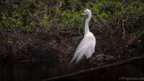Egret On A Wooden Ramp
