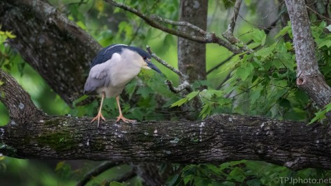 Black-crowned Night Heron In A Rookery