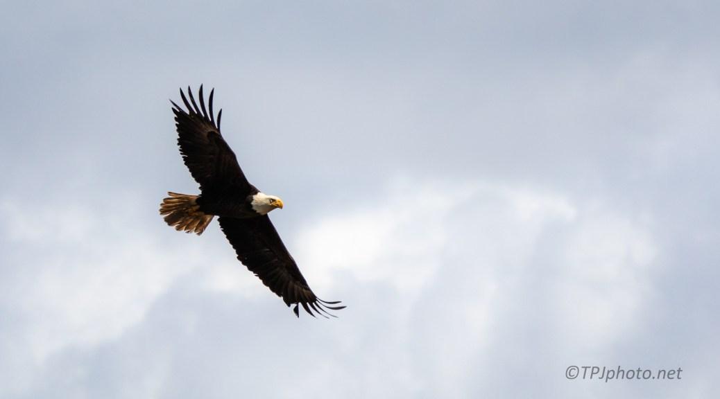 Bald Eagle Overhead