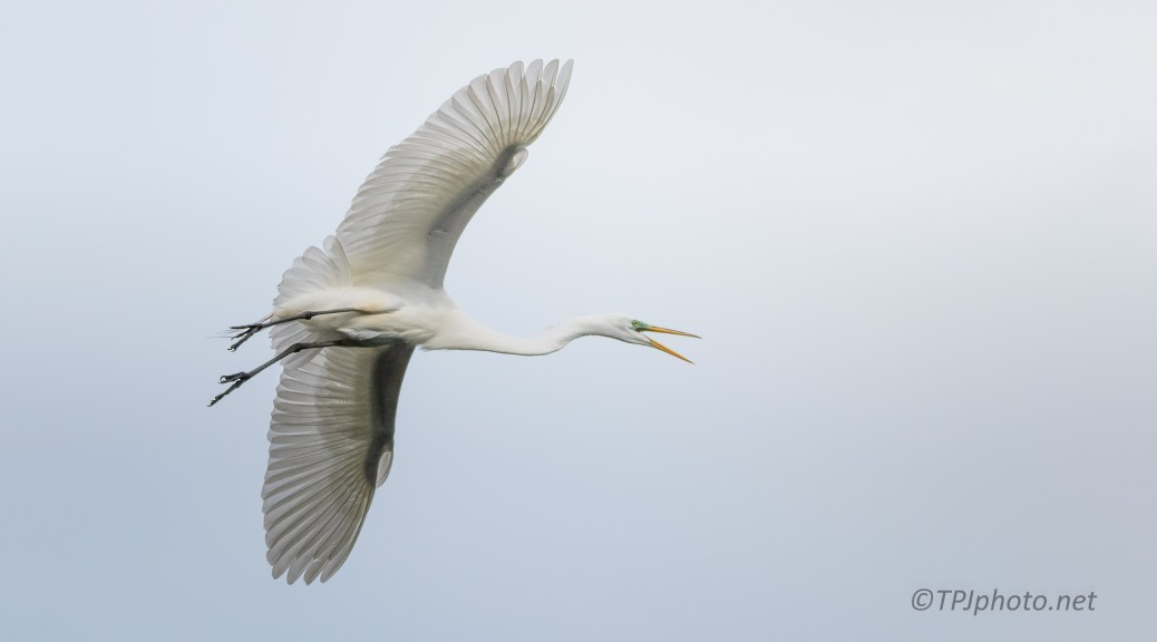 Clear Look At An Egret In Flight