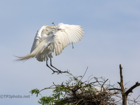 Great Egret Nesting