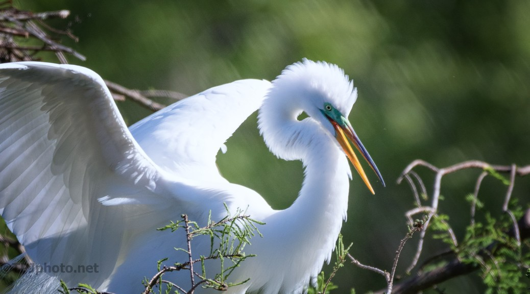 Great Egret, Almost A Pose