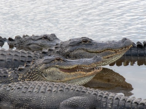 Huddle Up... Alligator
