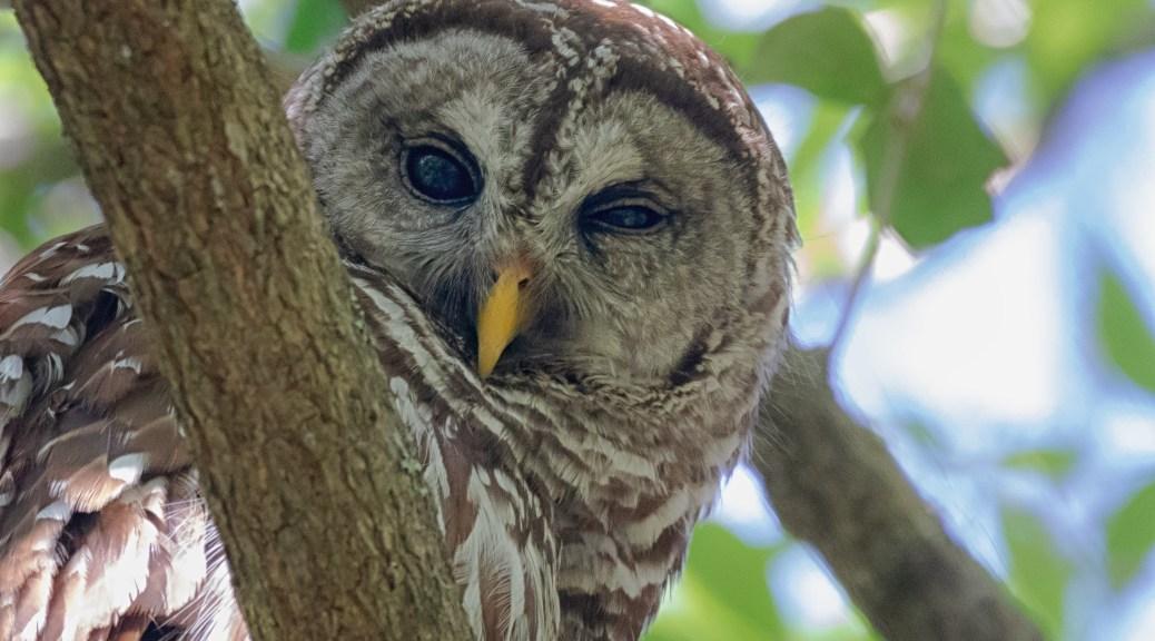 Half Asleep, Owl