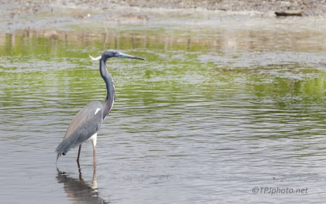 Tricolored Heron, Standing Like A Statue