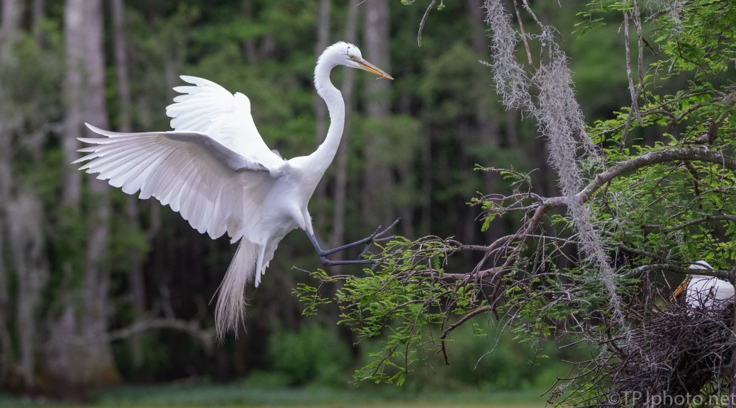 Great Egret Returning To The Nest