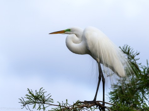 Warm Days In A Rookery, Egret