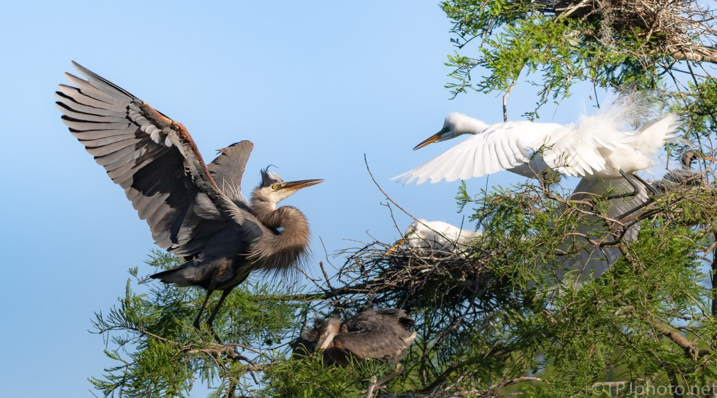 This Egret Fights Back With A Heron