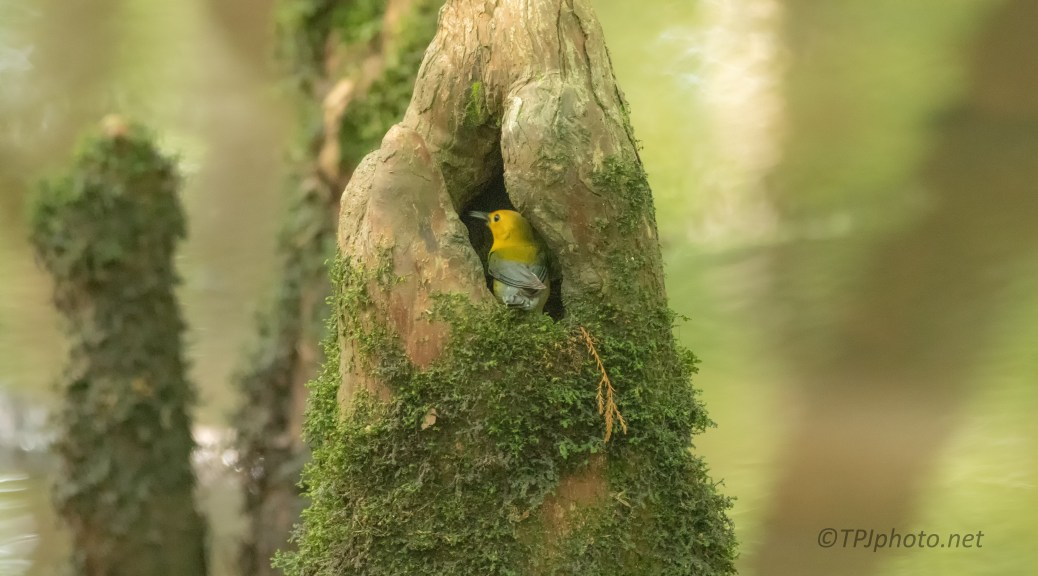 The New Attraction, Prothonatary Warbler