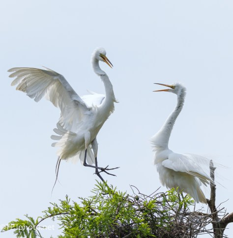 A Greeting, Great Egret