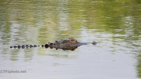 Impatient Alligator