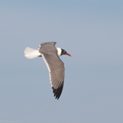 Laughing Gull, Eye To Eye