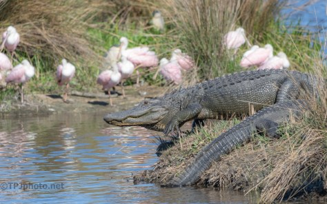 Locals In A Marsh, Alligator
