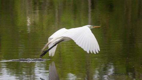 A Quick Flight, Great Egret