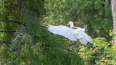 Great Egret, The Steps To Land