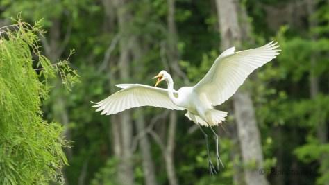 A Loud Landing, Egret