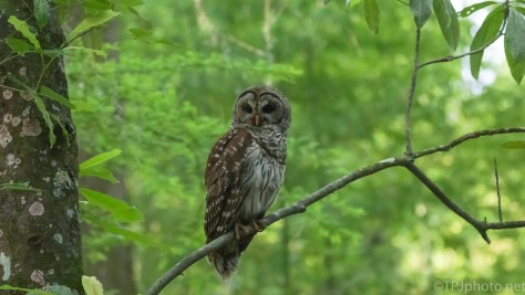 In The Shade, Barred Owl