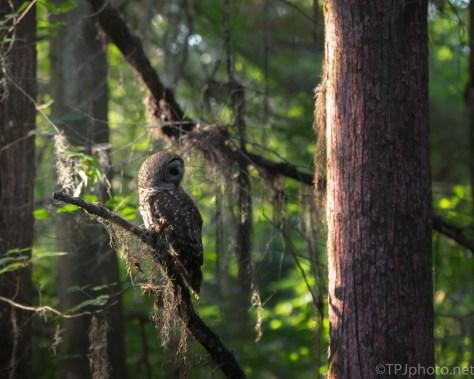 Hidden, Barred Owl