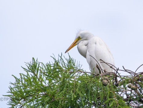 One Of The Last Young Great Egrets