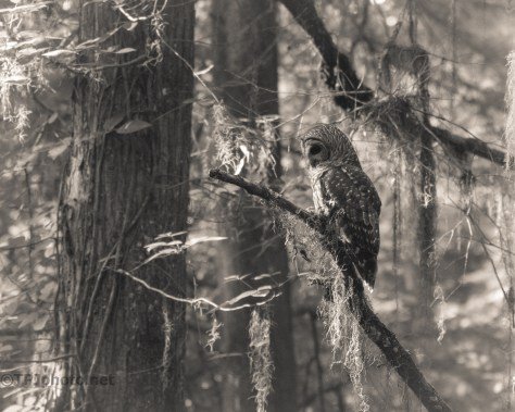 Owl, Monochrome