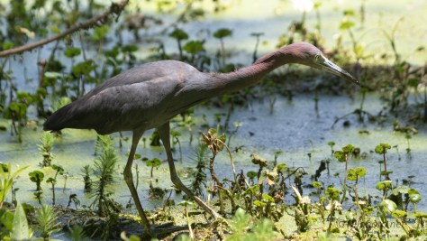 A Little Blue Heron