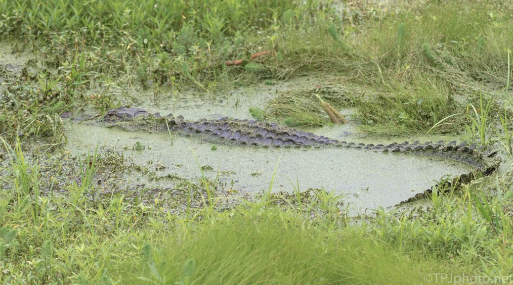 And He Wants To Hide Here, Alligator