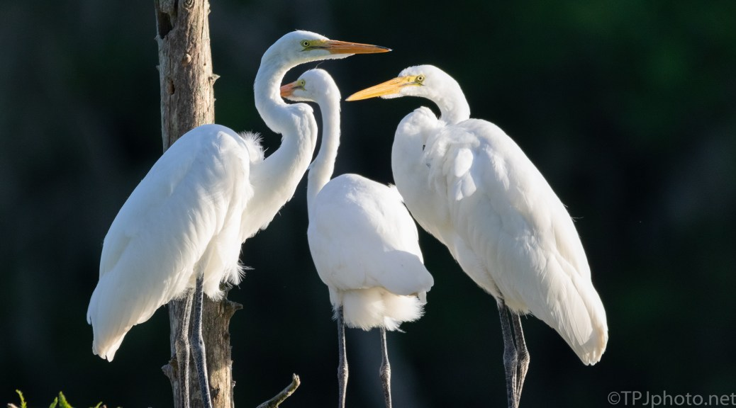 Not Leaving Home Just Yet, Egrets