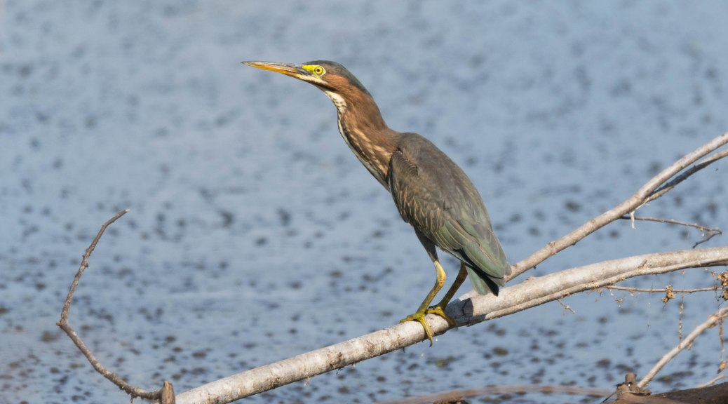 Green Heron, A Group Of Young Birds