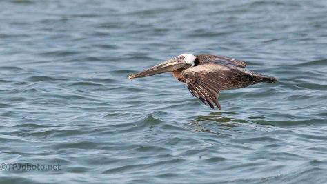 Catching The Breeze, Pelican