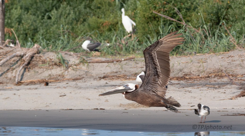 Low And Quick, Brown Pelican