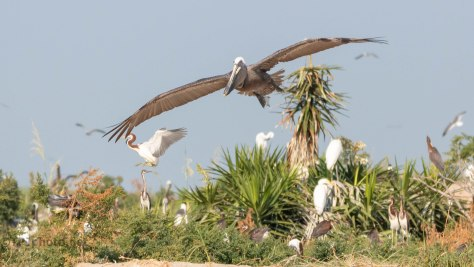 Pelican, In Flight (2)