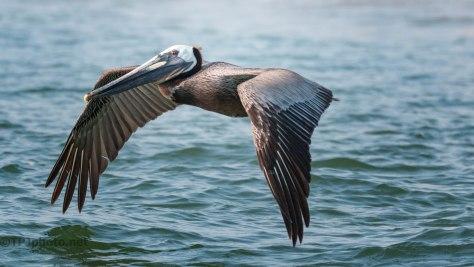 Pelican, In Flight (1)