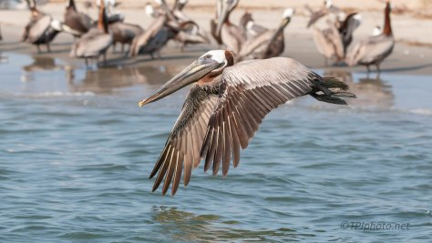 Pelican, In Flight (3)