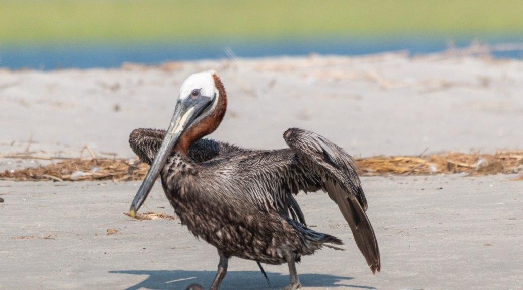Taking A Stroll, Pelican