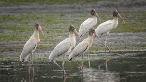 Wood Storks In The Shallow End