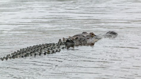 I Guess We Are Not Important, Alligator