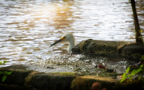 By An Old Wall By The Ashley, Egret