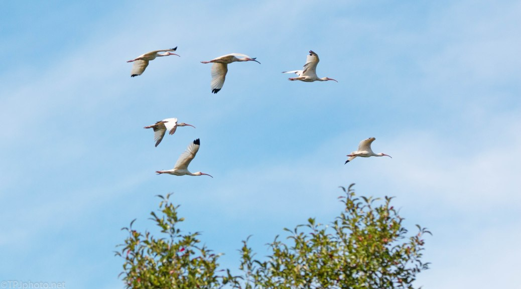 Ibis In Formation