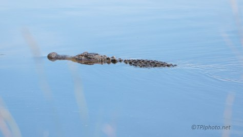 Just Cruising By, Alligator
