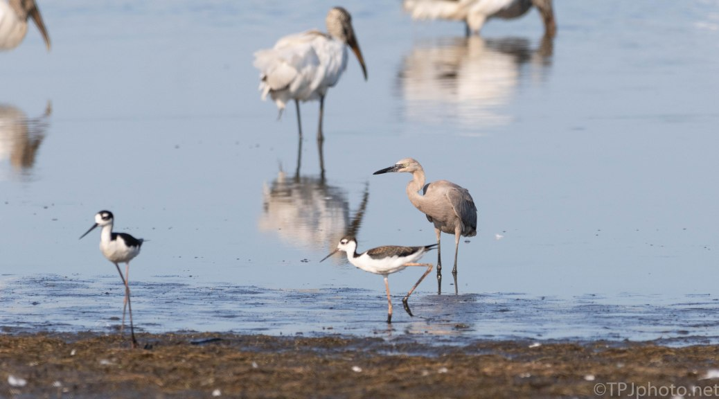 Stilts And The Reddish Egret