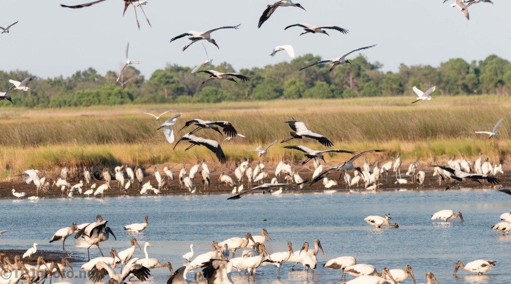 Drama Of Marsh Feedings