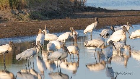 Evening Gathering, Wood Storks