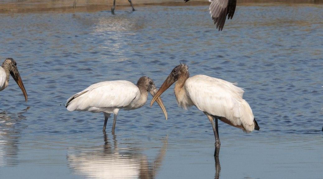 Quick Shot Of Storks