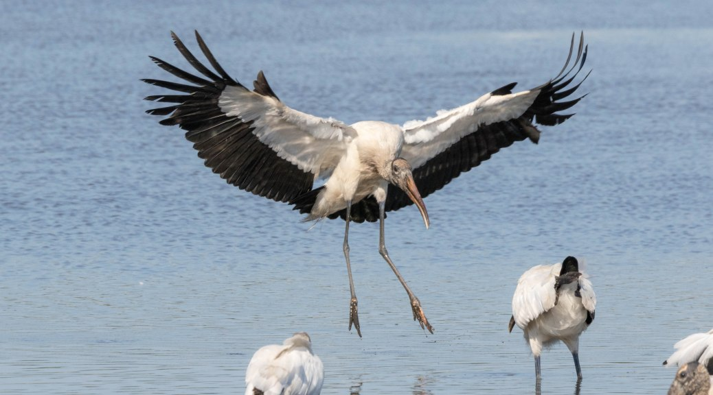 Landing A Little Too Close, Wood Stork
