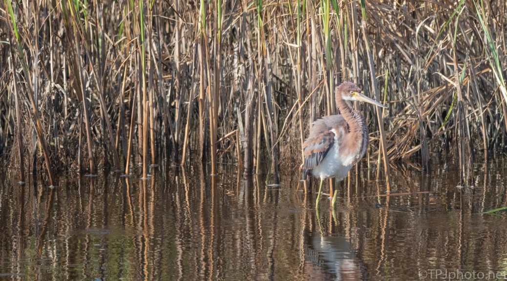 Following A Tricolored Heron